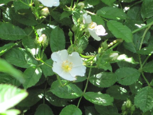 Wild-Roses in NJ