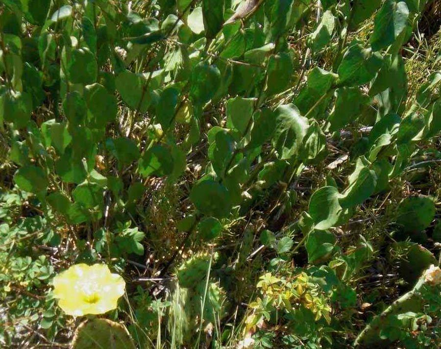 Wild Flowering Cactus