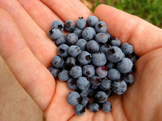 Wild Blueberries at Lake Minnewaska NY
