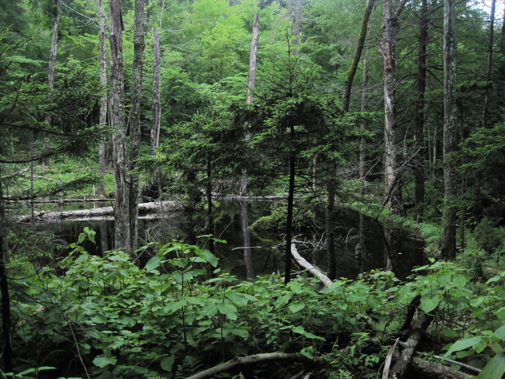 beaver swamp in Siamese Ponds Wilderness