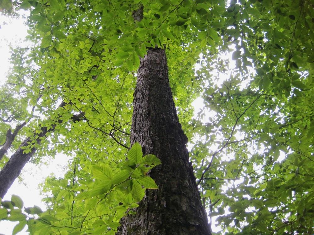 Old trees along Thirteenth Lake Hike