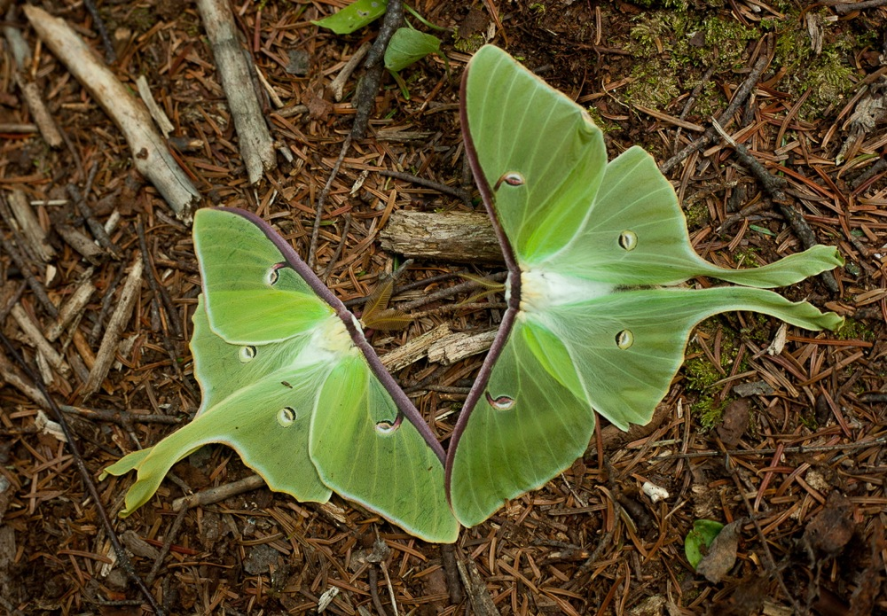 Peekamoose-Butterfly