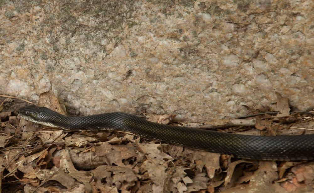 Gunks-Snake